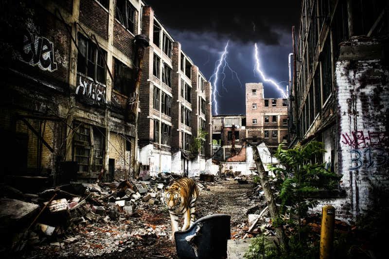 老虎在城市的废墟中行走