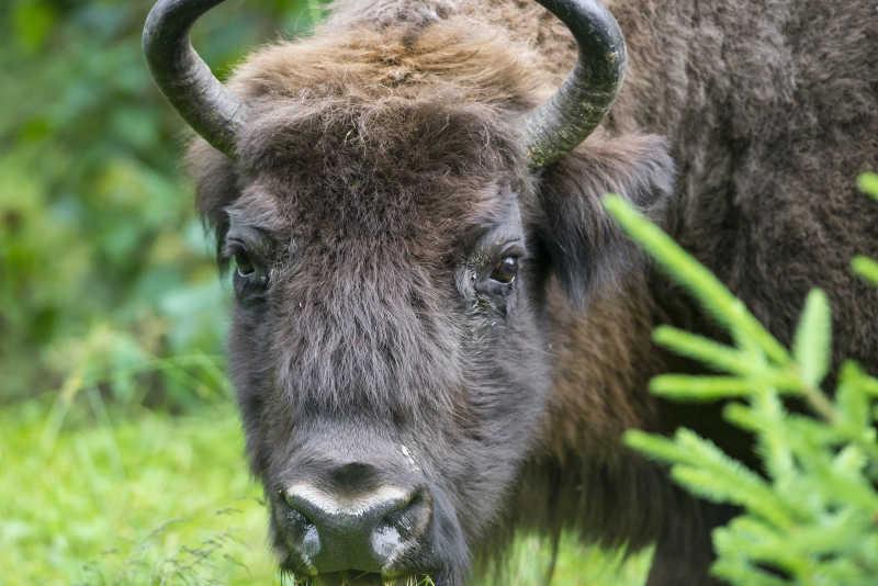 欧洲野牛在户外