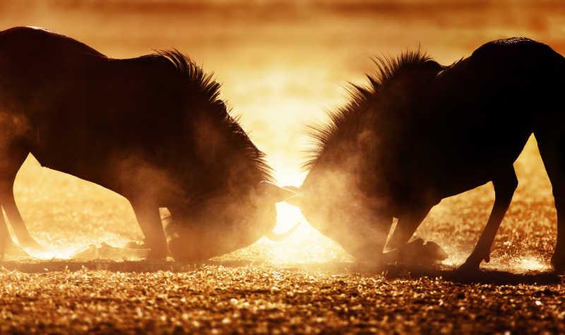 户外争斗的羚羊