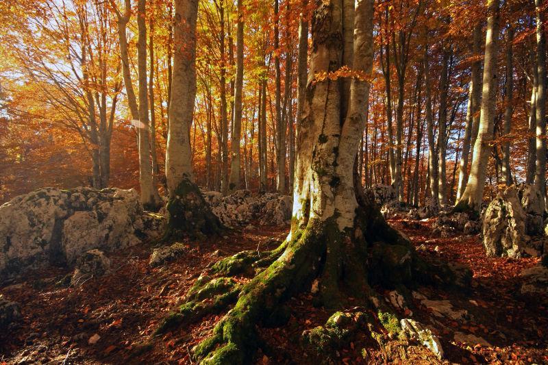 秋季枫树林的景色