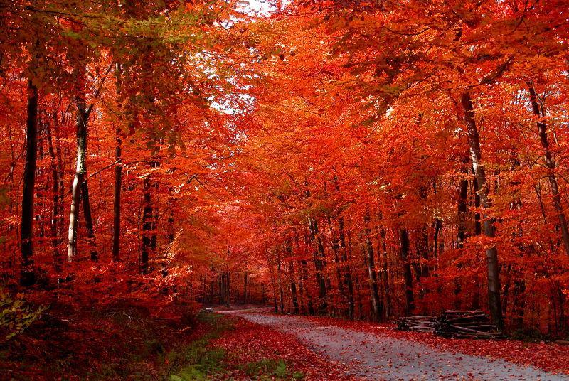 秋季森林红色树叶景色