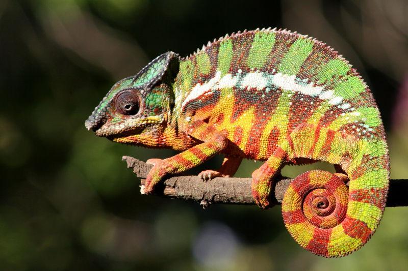 Chamäleon auf einem Ast-Bild-Outdoor-Chamäleon auf einem Ast-Material-HD-Bild-Fotografie-Suche zum kostenlosen Download