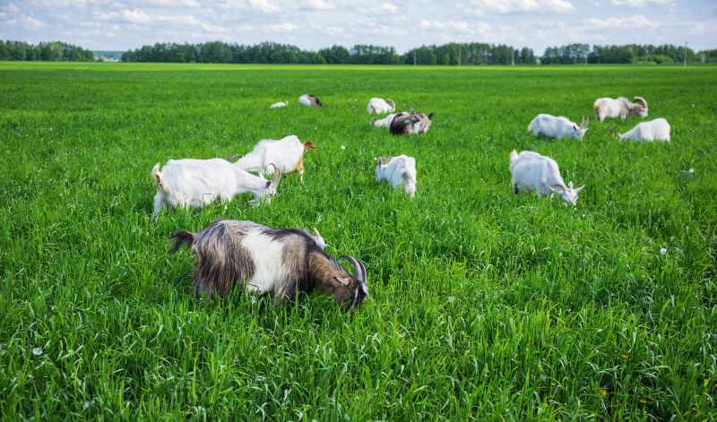 牧场里正在吃草的羊群