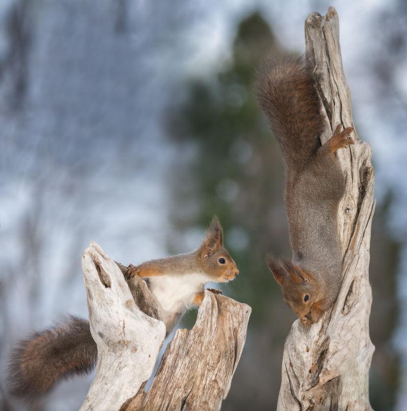 在干枯的树枝上玩耍的两只可爱的小松鼠
