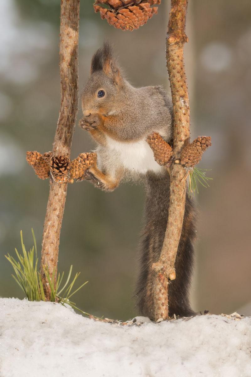 在雪地上吃松子的可爱的小松鼠
