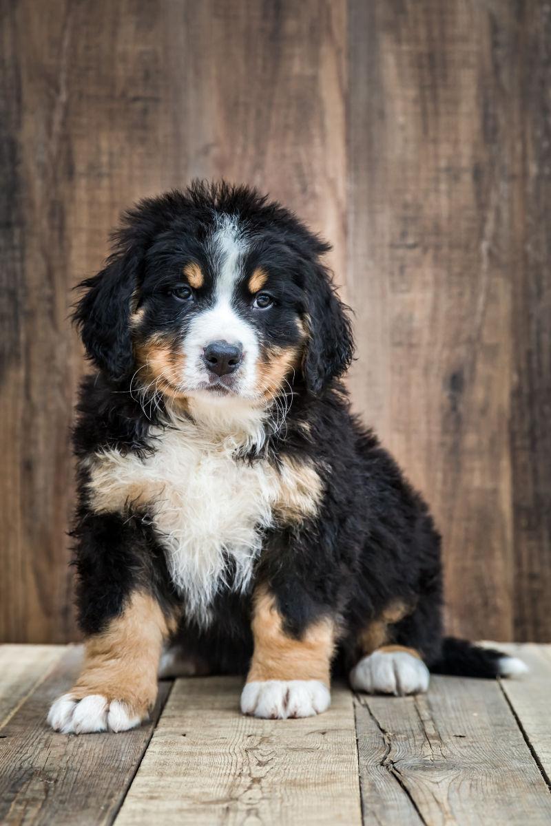 木板上的可爱的伯恩山小狗
