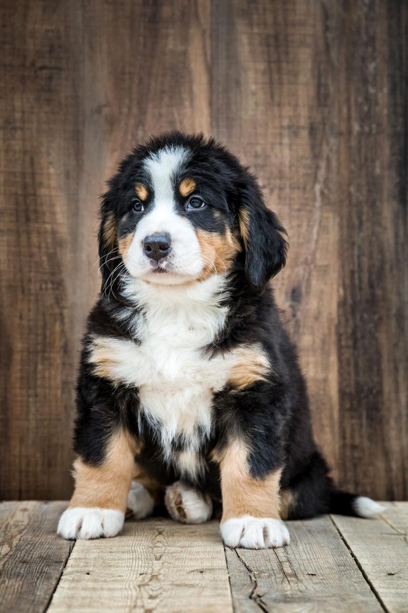 黑白可爱的小狗